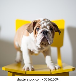 A British Bulldog Puppy standing on a yellow chair.