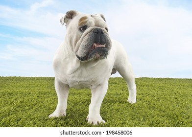 British bulldog standing on grass against the sky