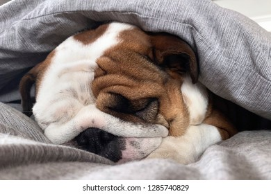 British Bulldog taking things easy
