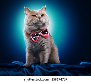 British Cat With A Bow Tie