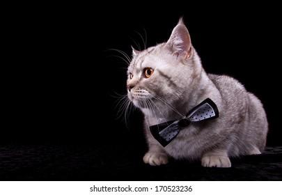 British cat with bow-tie