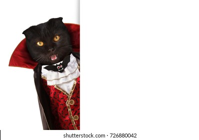 British cat is celebrating a halloween and wearing a suit of vampire. White space for text.