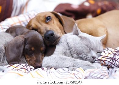British cat  and dog dachshund
