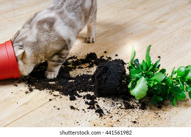 British cat dropped the flower pot and scattered on the ground laminate House