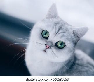 british cat face