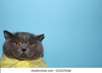 british cat impudent cat cat in a shirt