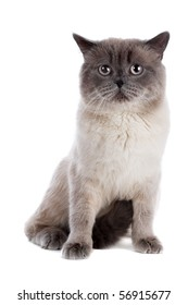 British cat isolated on the white