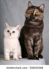 British cat and kitten