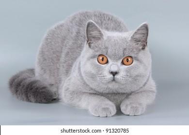 British cat, kitten