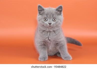 British cat, kitten blau isolated