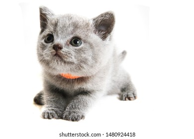 british cat kitty isolated on the white background