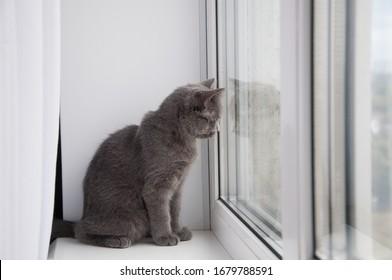 british cat laying on a window sill