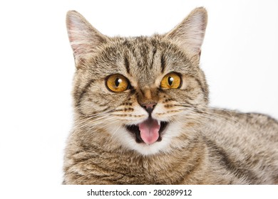 British cat licks his lips and looking at the camera (isolated on white)