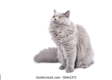 british cat looking up isolated