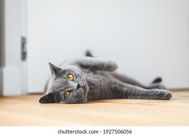 British cat lying on the floor at home. British shorthair breed portrait