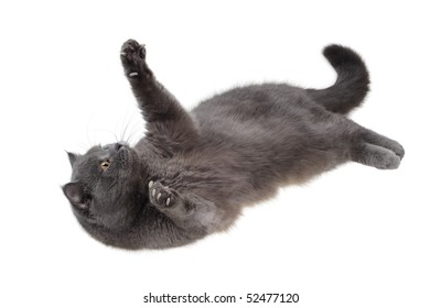 British cat is lying on his back and looking up and playing paws, isolated on white.
