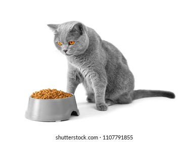A British cat near a bowl with food is preparing to eat on isolation. The short-haired gray cat eats the food from the plate.