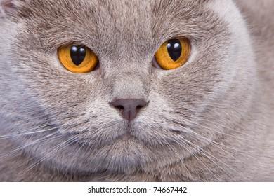 British cat on blue background