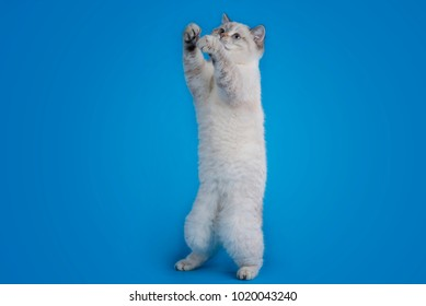 British cat on an isolated blue background