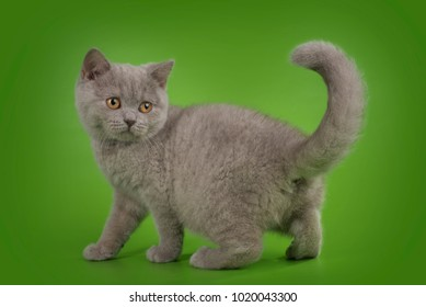 British cat on isolated green background