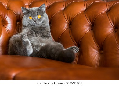 British cat on a leather sofa Chesterfield