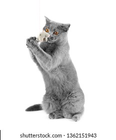 British cat on a white background catches a toy mouse. Playful cat trying to catch a mouse. The gray cat sits on two paws on isolation