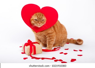 British Cat, portrait cat , Valentine's Day, heart