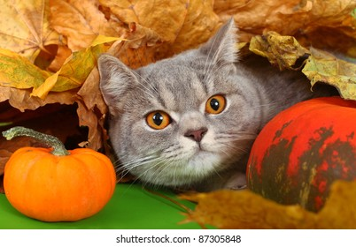The British cat with a pumpkin and autumn leaves.