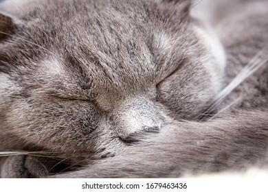 British cat sleeping close up