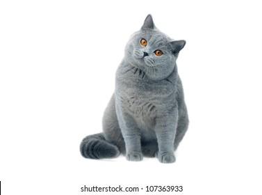 British cat staring, isolated shot