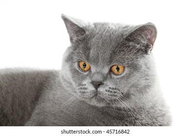 British cat in studio
