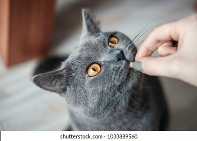 british cat want to eat from hand of woman, close up,  cat with yellow eyes asks for food,