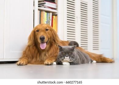 British cats and Golden Retriever
