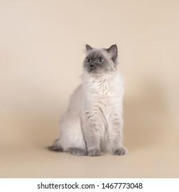 British cats with pedigree in studio
