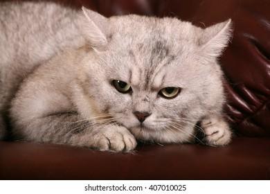 British chinchilla cat.