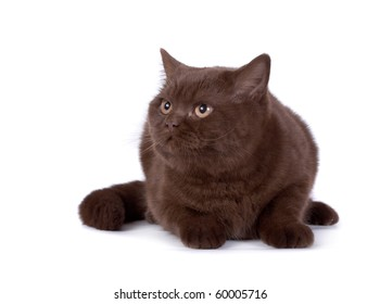 The British chocolate cat