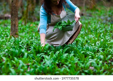 British Female woman foraging for organic wild garlic in Woodland area harvesting spring greens