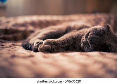 British fold cat sleeping on the bed