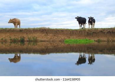British Friesian cows graze on the farmland around river Axe in East Devon