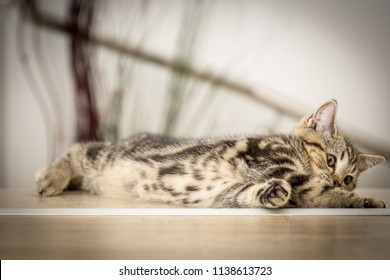british golden tabby cat