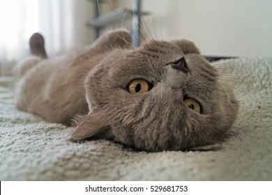 British gray cat lying on his back.