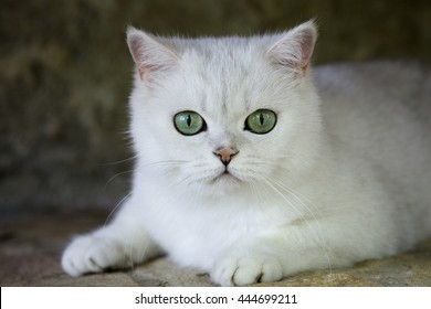 White Cat Green Eyes Images Stock Photos Vectors Shutterstock