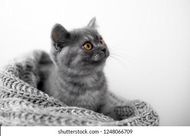 British grey cute kitten.