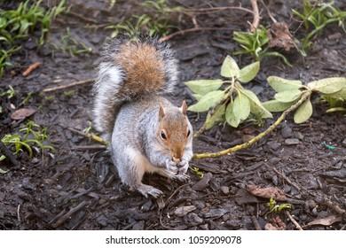 British grey squirrel
