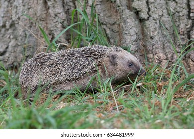 British Hedgehog foraging at the base of a large tree