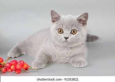 British kitten, cat blue