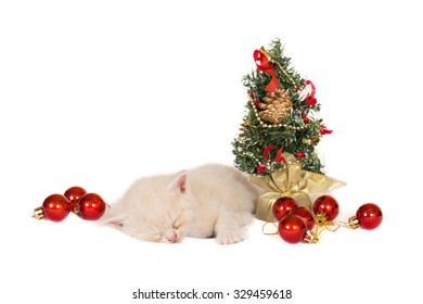 British kitten with Christmas decorations on white background