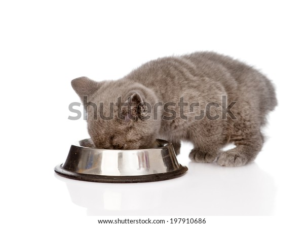 british kitten eating cat food. isolated on white background