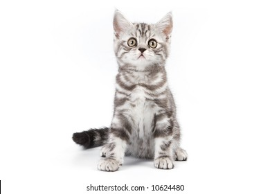 British kitten isolated on white background