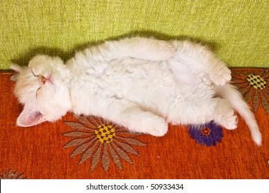British kitten laying on back
